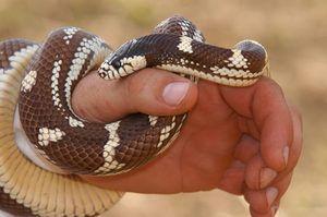Dream șarpe ce este