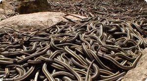 Ce șerpi visează mulți