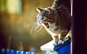 Cât de des și de câte zile merge pisica?