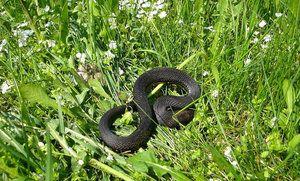 Cum să scapi de șerpi în țară