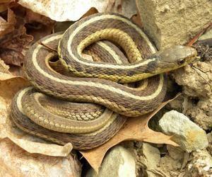 Cum să cureți șaua, astfel încât să nu fie șerpi