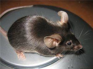Deoarece mouse-ul este mai bine să mănânce, există un fel de mouse sălbatic și acasă