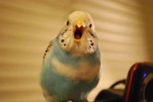 Predă o conversație de papagal budgie