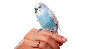 Cum să înveți repede un papagal să vorbească