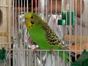 Modalități de a preda un papagal ondulat pentru a vorbi