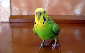Metode de predare a unui papagal ondulat pentru a vorbi