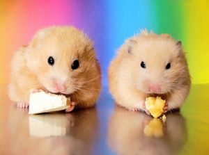 Cum de a apela un hamster un băiat și o fată