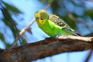 Modalități de a cunoaște vârsta unui papagal ondulat