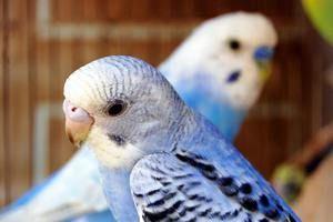 Sfaturi privind cât de ușor este să cunoști vârsta unui papagal ondulat