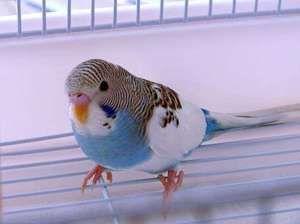 Prin ce semne puteți afla vârsta papagalului ondulat