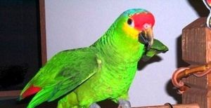 Cum să explici un vis despre un papagal