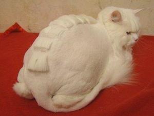 Recomandări pentru tăierea pisicilor