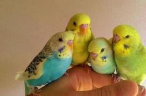 Îngrijirea Parrotului