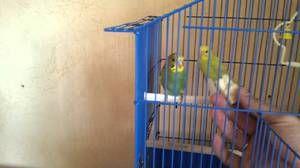 Cum să obișnuiești papagalii în mâinile lor