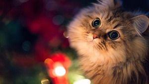 Simptomele unei reacții alergice la pisici