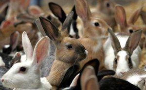 Cum să aibă grijă de iepuri: descriere și caracteristici ale îngrijirii