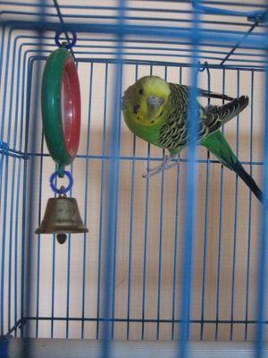 Alegerea unei cuști pentru un papagal