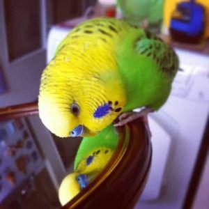 Parrot și oglindă