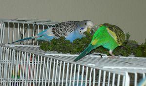 Cum să ai grijă de papagali