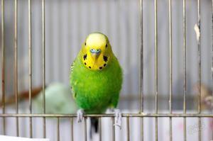 Papagalul în cușcă