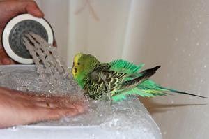 Papagalii de baie