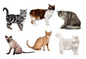 Cum să identificați o rasă de pisici