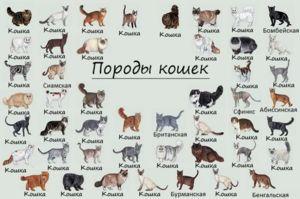 Cum sa stii rasa unei pisici