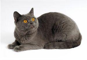 Caracteristicile pisicilor pedigree