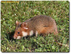 Descrierea hamsterului de câmp