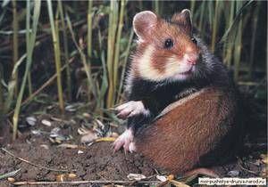 Câmpii de hamsteri