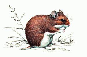 Cum mănâncă hamsterul de câmp