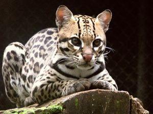 În ce condiții trăiește un ocelot de pisică sălbatică?