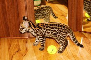 Vei ajunge de la o pisică de casă ocelot