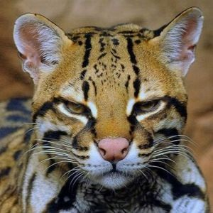 Care este natura ocelot pisica