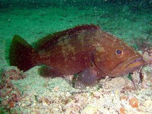 Pește din Marea Neagră