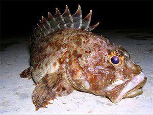 Pești din Marea Neagră