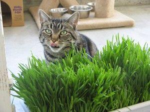 Ierburi pentru pisici