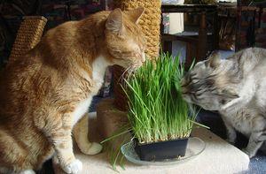 Pisicile mănâncă iarbă