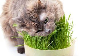 O pisică mănâncă iarbă cu plăcere