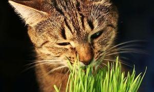 Pisica mananca iarba verde