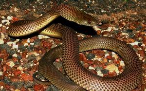 Mulga șarpele