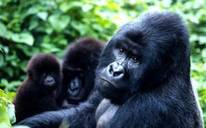 Gorilla Herbivore