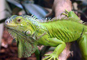 Iguana se hrănește cu iarbă