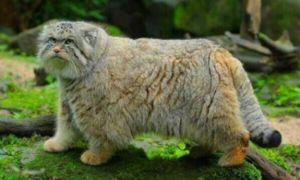 Manul este o pisică sălbatică a stepei eurasiatice, populația sa este scăzută și continuă să scadă