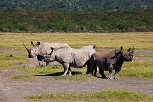 Rinocul alb și negru care trăiesc în savană sunt pe punctul de a dispărea