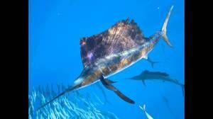 Care este cel mai rapid pește din lume?