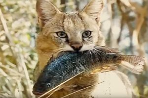 Un CAT CAT sau o Mlaștină de Raven, o familie de pisici predate