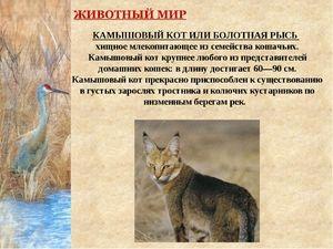 Rădăcina de pisică sau râsul de mlaștină - mamifer predator
