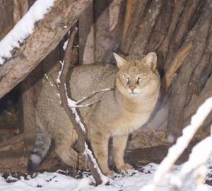 Un CAT sau o mlaștină Șobolanii sunt mamifere din familia pisicilor