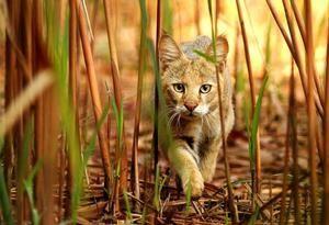 Un mamifer predator din familia pisicilor